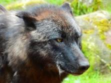 Wolf closeup